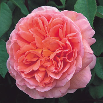 abraham-darby-rose