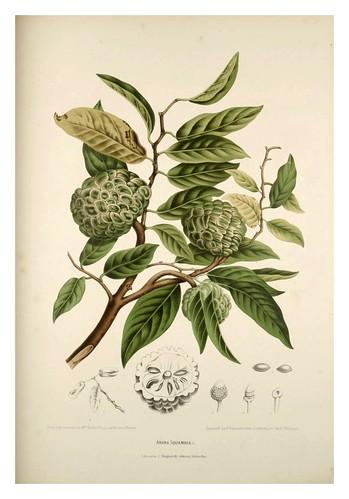 011-Anona escamosa-Fleurs, fruits et feuillages choisis de l'ille de Java-1880- Berthe Hoola van Nooten
