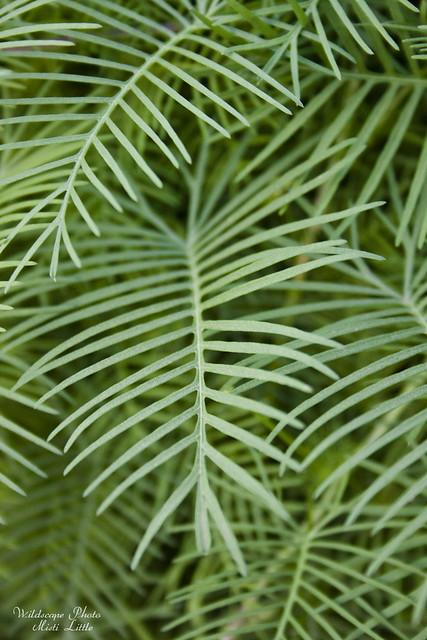 cypressvine