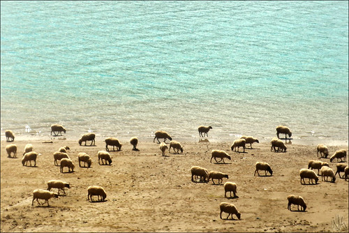 Counting sheep at the beach