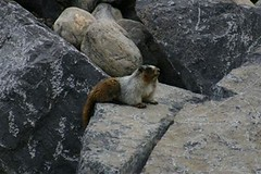 Hoary Marmot Sibbald Creek Alberta (Cowley)