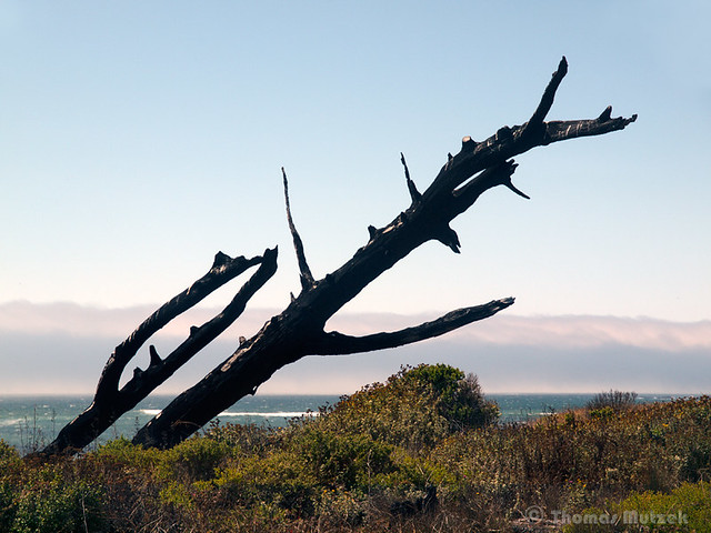 Burned and Fallen Tree along Atkinson Bluff Trail, Año Nuevo, San Mateo