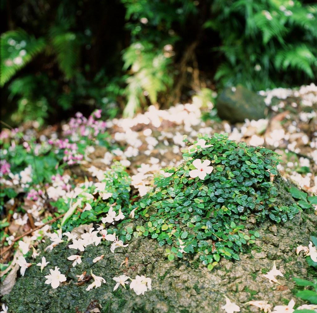 四月的油桐花与五月的玉山杜鹃