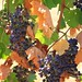Sangiovese grapes for Tuscane Chianti wine