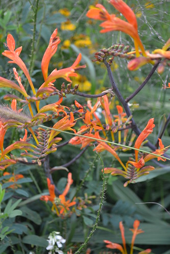 CROCOSMIA paniculata 'Cally Greyleaf'