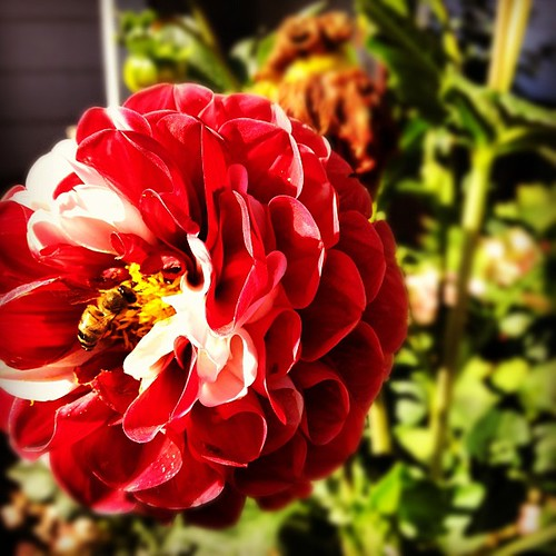 My neighbors grow gorgeous stripey dahlias. #flowers #dahlia #aachen #germany #summer