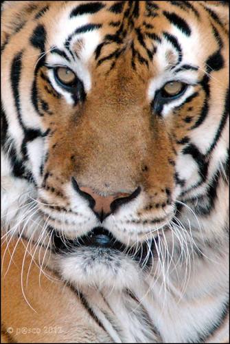 Panthera tigris altaica - Tigre Siberiana.