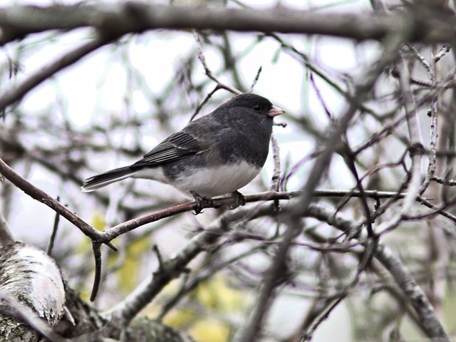Dark-eyed Junco 20121103