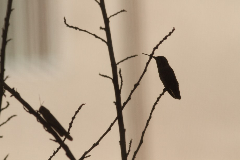 locust and Anna's Hummingbird 110812