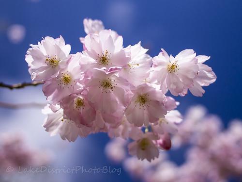 イギリス 桜