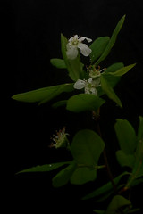 Amelanchier bartramiana - Bartram's Shadbush