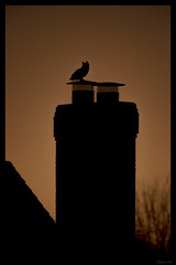 Owl on a Chimney