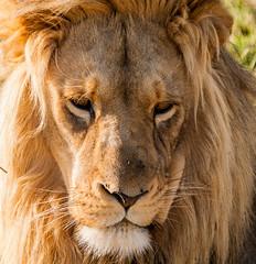 savanna(0.0), nose(1.0), animal(1.0), mane(1.0), big cats(1.0), masai lion(1.0), lion(1.0), snout(1.0), mammal(1.0), fauna(1.0), close-up(1.0), whiskers(1.0), safari(1.0), wildlife(1.0),