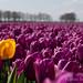 Blumenfeld in Holland by Lukas Schumann