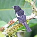 White-shouldered Tanager - Photo (c) Jerry Oldenettel, some rights reserved (CC BY-NC-SA)