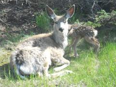 New Baby Deer