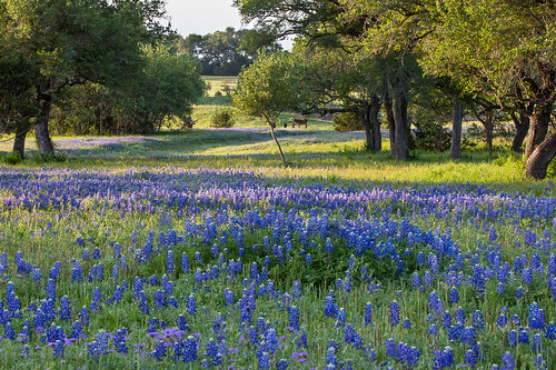 Bluebonnet Sunrise