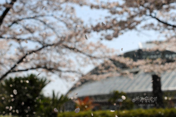 櫻花花瓣紛飛