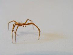 Aranha é Spider