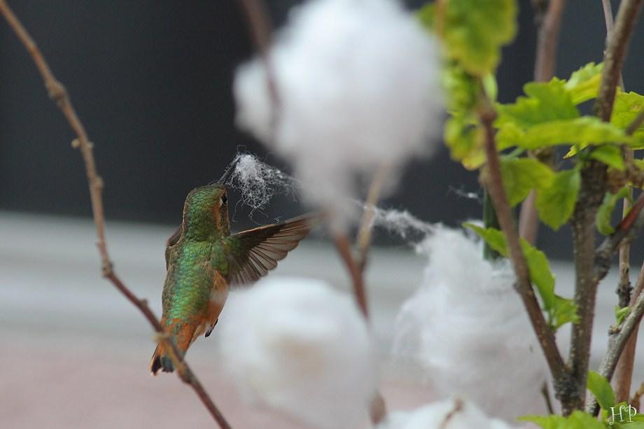 Allen's Hummingbird 032612100