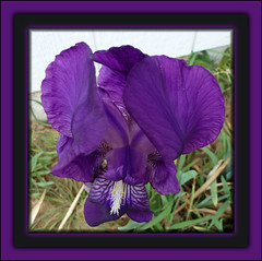 My Iris!!! Could not believe that it bloomed in the rain and wind....