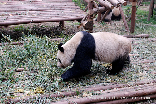 Pandas in Chengdu China 11
