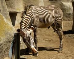 IMG_3639: Zebra