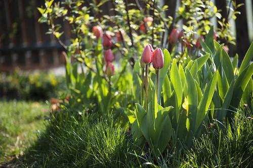 tulipani senza tubi_7008310 come oggetto avanzato-1