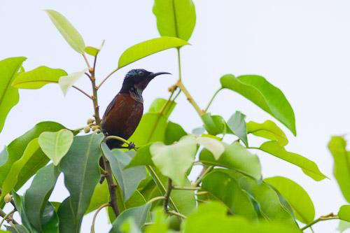 Purple sunbird ???