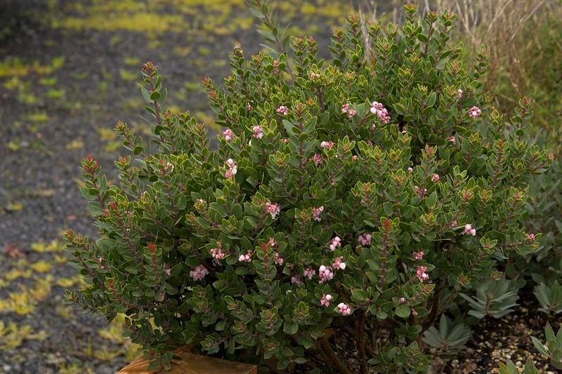 manzanita greensphere  1519