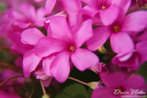 169: Pink Clover