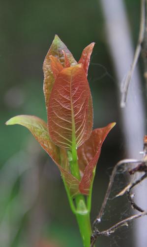 Budding Leaf