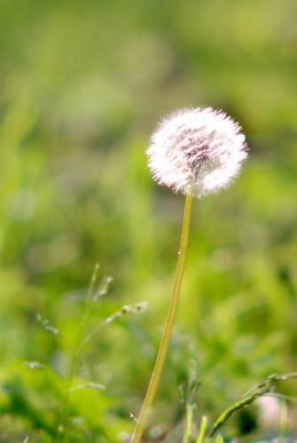 タンポポの綿毛/dandelion puffball
