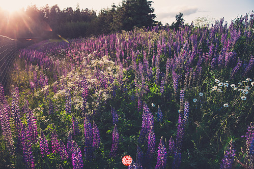 world camera sunset summer sun flower color backlight canon project finland lens photography one evening design photo blog helsinki flickr day photographer f14 year capital picture gear wdc lensflare flare l 5d 24 365 mm 24mm jussi 2012 tmi zomg lightroom lupines valokuvaaja project365 365days valokuvaus hellsten flickr365 tumblr 3652012 zomgmedia helsinki365