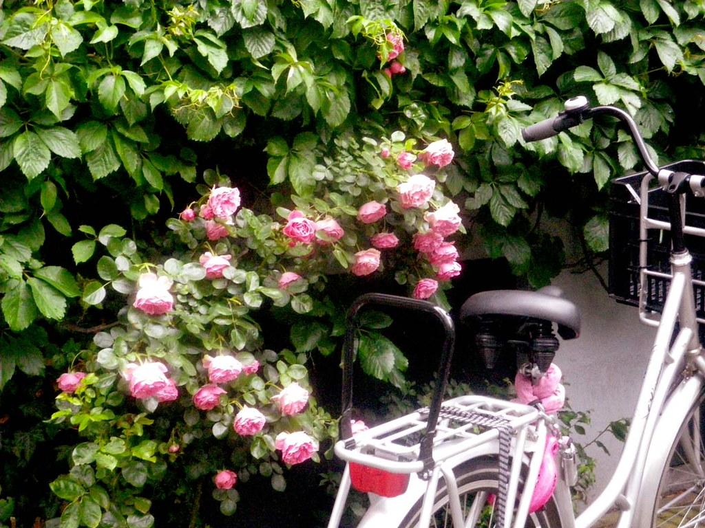 roses-and-bike