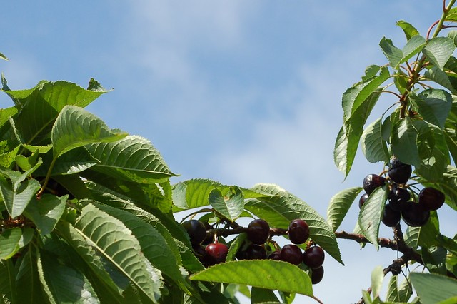 Black cherries by Eve Fox, Garden of Eating blog, copyright 2012