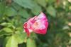 177/366 Rosebud