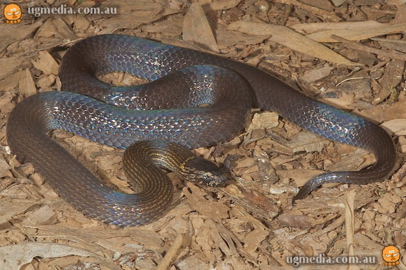 Northern dwarf crowned snake (Cacophis churchilli)