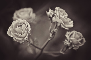 Four Small Roses and Couple of Buds