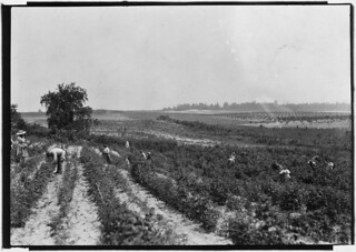 A berry field on Rock Creek. Whites and negroes, old and young, work here from 4:30 A.M. to sunset some days. A long hot day. Rock Creek, Md, June 1909