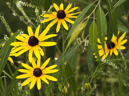 Black-eyed Susans by Ricky L. Jones Photography