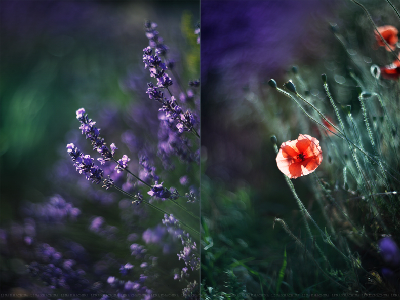 Poppies in the middle of a lavender field