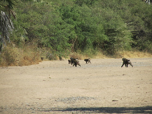 Baboons by our campground