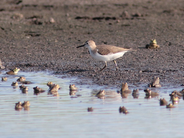 Spotted Sandpiper 2-20120717