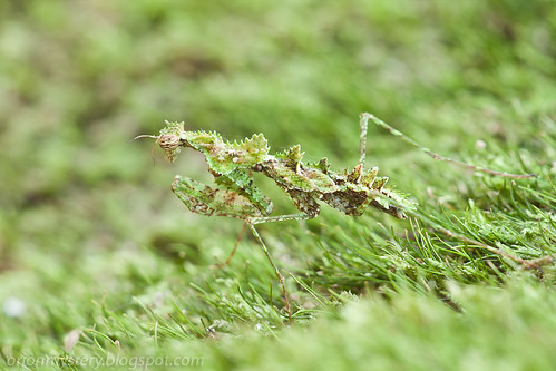 Moss mantis, <i>Majangella sp. </i>IMG_7513 copy