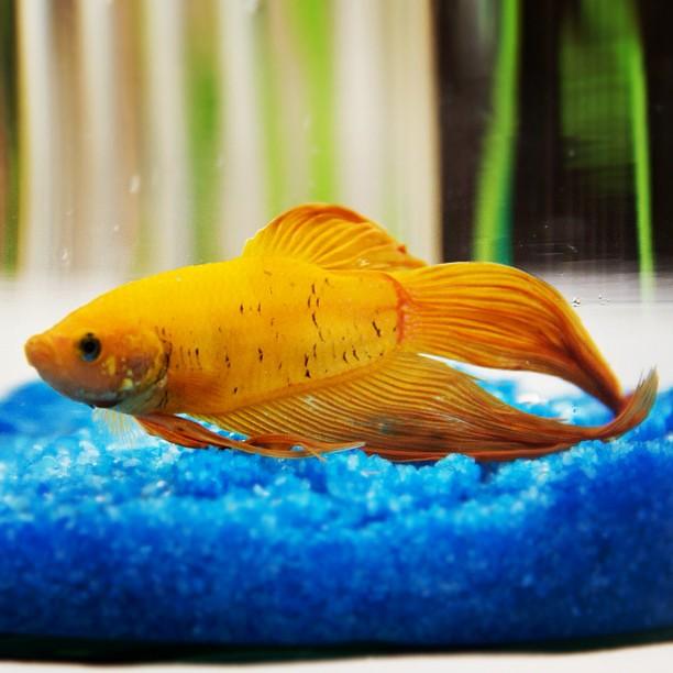 Yellow betta fish | Flickr - Photo Sharing!
