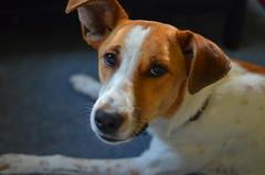 dog breed, animal, danish swedish farmdog, dog, brazilian terrier, american foxhound, pet, mammal, miniature fox terrier, toy fox terrier, close-up, russell terrier, jack russell terrier, terrier,