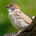 Tree Sparrow Lookup