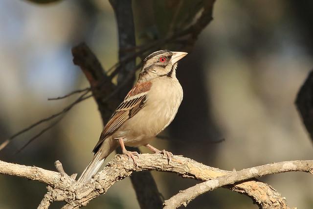 Header of Chestnut-Backed Sparrow-Weaver