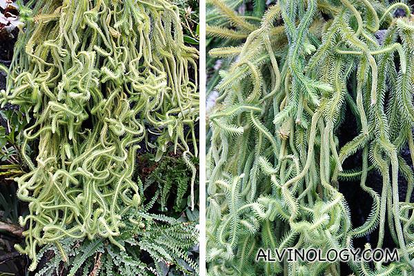 Medusa plants